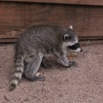 The baby raccoon, in the care of Gila Wildlife Rescue, before being released back into the wild.